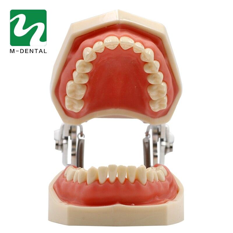 Dental Abnehmbare Standard Zähne Zahn Modell Mit 28 stücke zähne Für Lehre Simulation Modell-in Zahnbleaching aus Haar & Kosmetik bei  Gruppe 2