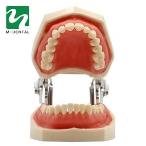Image 2 - Modèle de dent dentaire Standard amovible avec dents de 28 pièces pour le modèle de Simulation denseignement