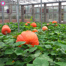 20/pcs Giant Pumpkin Seed Super Pumpkins Seeds Orna-Mental Gourd vegetable seed