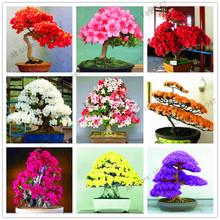 Garden Flowers Plants 101 PCS White And Pink Azalea Plantas Bonsai floresling Flowers DIY The Best Gift For The Child.