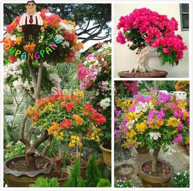 online shop 100pcs colorful bougainvillea plants balcony flower pot