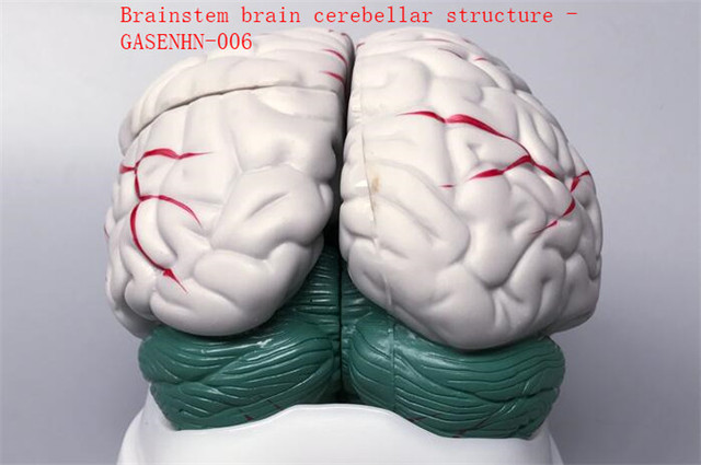 Cerebral anatomy model Brain stem brain Cerebellar structure Anatomy ...