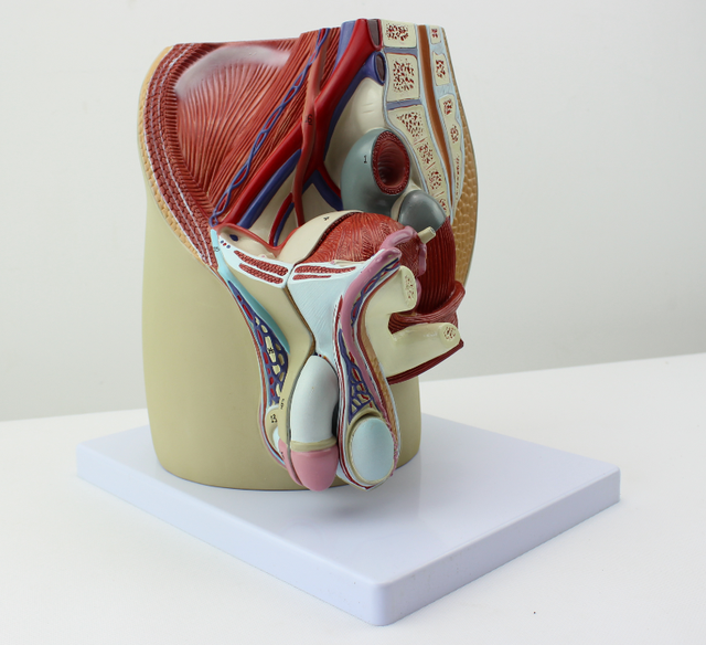 Male genitourinary system pelvic anatomy model Prostate Male ...