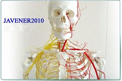 NEW170cm Human Anatomical Anatomy Skeleton Model Blood Vessel And Nerves +Stand plastic standing human skeleton life size for horror hunted house halloween decoration