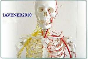 NEW170cm Human Anatomical Anatomy Skeleton Model Blood Vessel And Nerves +Stand