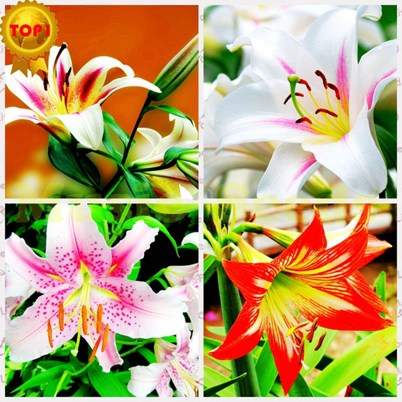 1BAG=100pcs hot sale LILY seeds RARE chinese rainbow fl