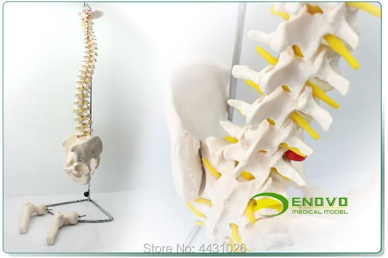 ENOVO The European version of the human spine model of the pelvis leg