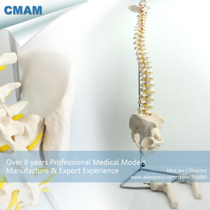 12383 CMAM-SPINE11 Professional Medical Anatomy Life-Size Vertebral Column with Pelvis and Femur Heads vertebral column model with pelvis femur heads and sacrum 45cm spine model with intervertebral disc
