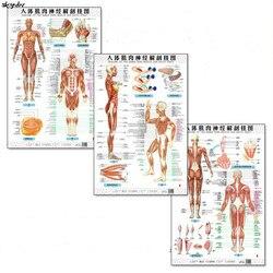 Anatomia do corpo humano músculo e nervos gráficos 3 pces (parte dianteira para trás) inglês e chinês feminino/masculino cartazes bilíngües