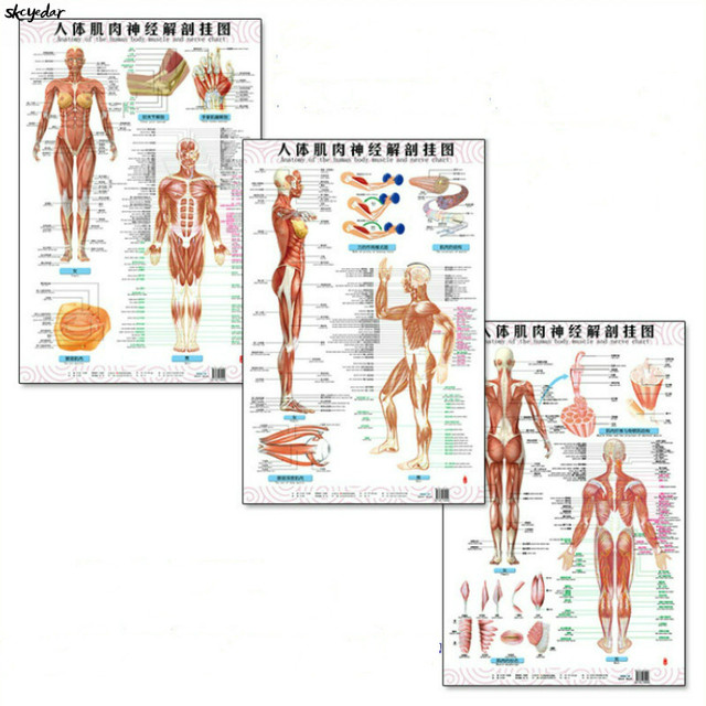anatomy of the human body muscle and nerve charts 3pcs (front side back)  english and chinese female /male bilingual posters