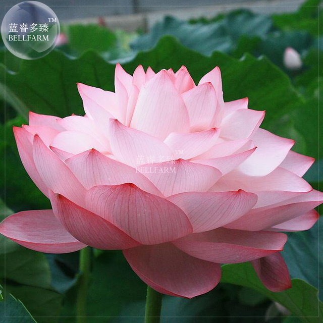 Captivating BELLFARM Bonsai Lotus Nelumbo Nucifera Light Pink 10 Layer Petals, 2pcs  U0027Seedsu0027