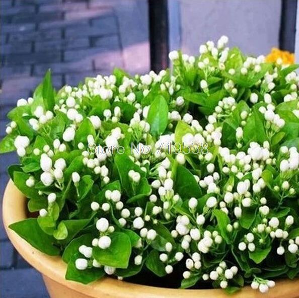 online buy wholesale jasmine plant from china jasmine. Black Bedroom Furniture Sets. Home Design Ideas
