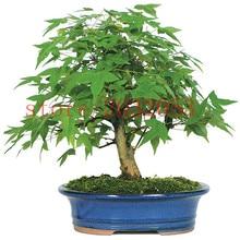 bonsai 20 pcs/bag japanese maple tree for home garden