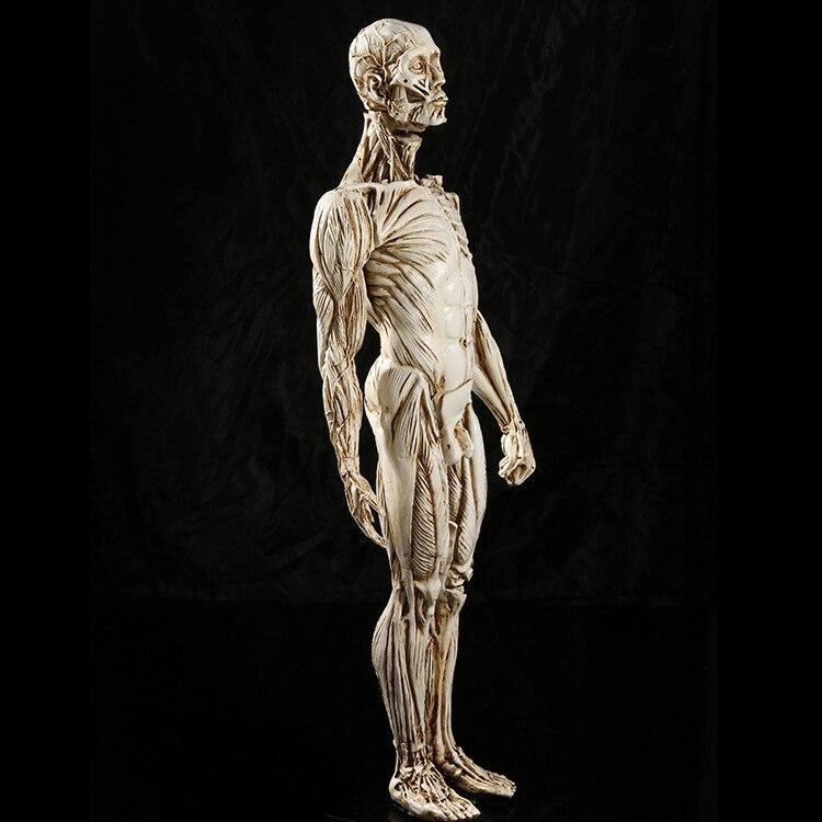 Medizinische Muskelmann Menschlichen Anatomie Studium lehren Schädel ...