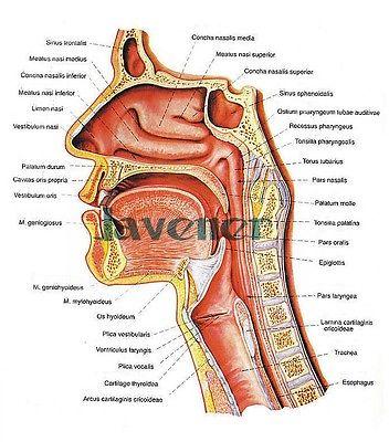 Fotos anatomia da garganta 79