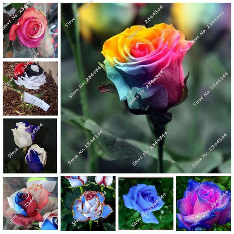 chaude pcs sac rainbow rose graines bonsai graines de fleurs noir rare couleurs melangees rose rare balcon vegetales pour la