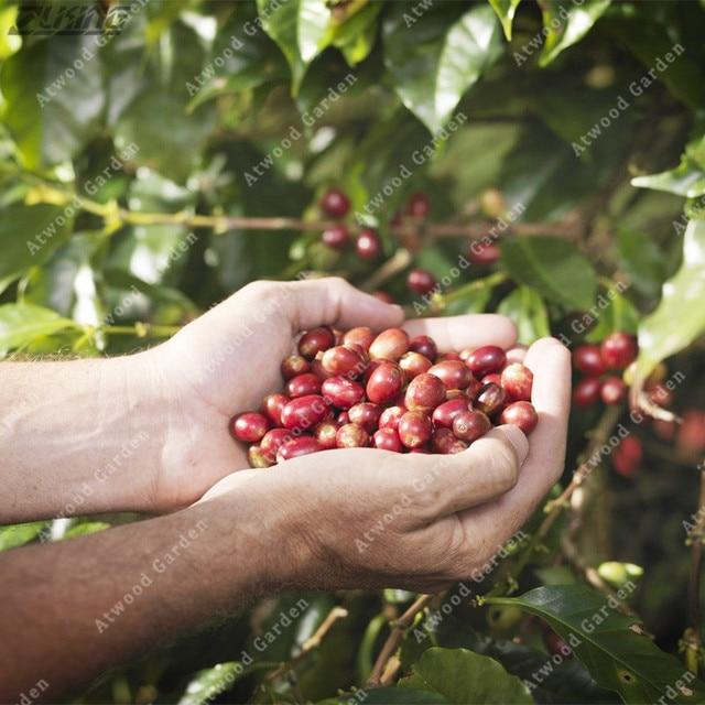 ZLKING 20 قطع النقي جامايكا الجبل الأزرق القهوة الفاصوليا النادرة والنفيسة عبق منعش تحفيز القهوة الكرز غريبة مصنع