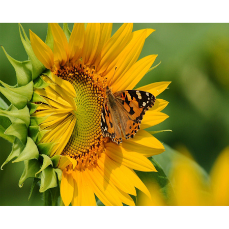 diy 5d diamond painting cross stitch Sunflower  butterfly rhinestone pasted painting embroidery home decor wall sticker gift