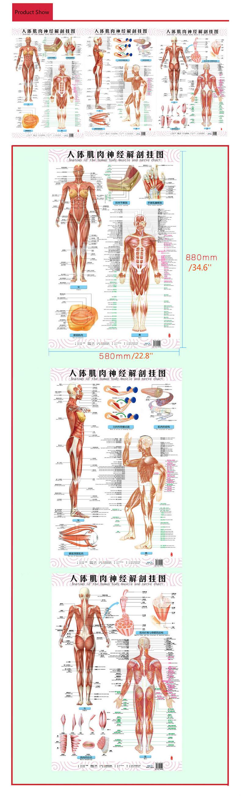 Anatomia Del Muscolo Del Corpo Umano E Dei Nervi Tabelle 3 Pz Lato