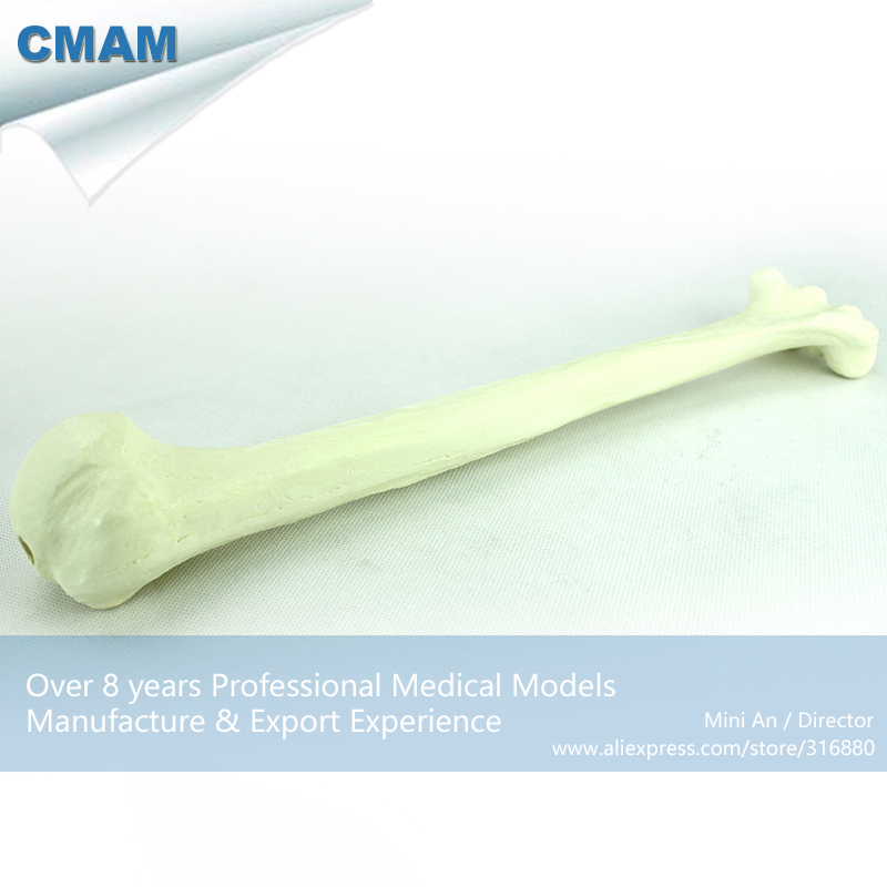 12321 CMAM-TF10 Solid Foam Normal Anatomy Humeral with Medullary Cavity, Medical Science Educational Teaching Anatomical Models cmam a29 clinical anatomy model of cat medical science educational teaching anatomical models