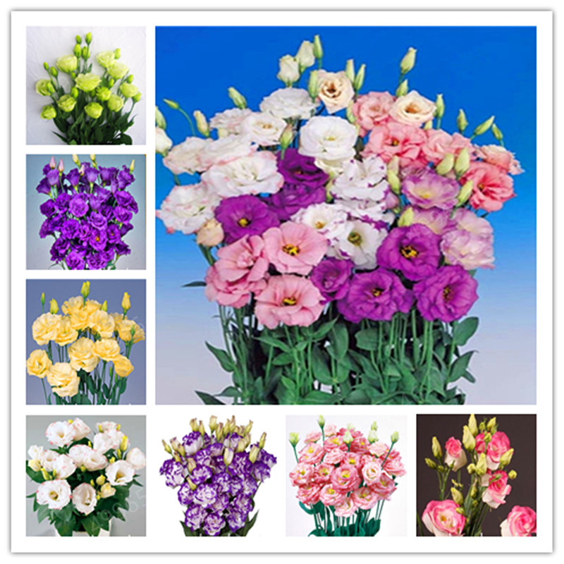 500 Pcs / Bag,rare Eustoma Flower, Potted Plant, Lisianthus Flower Plant, Variety Complete,the Budding Rate 95%, (Mixed Colors)