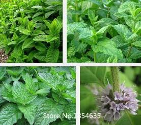 Aromatic plant seeds Mentha arvensis, perfume mint se Q