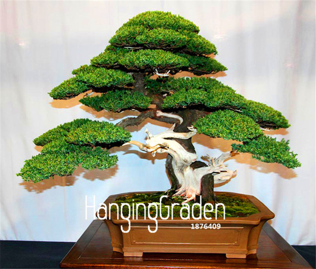 office bonsai. Modren Office Big Promotion50 PcsBag Juniper Bonsai Tree Potted Flowers Office  Purify The And Office Bonsai