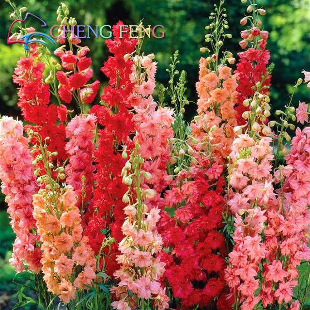 Free Shipping 1 Pack 30seeds Mixed Colourful Flower Seed Delphinium Seeds An Beautiful Giant Room Flowers