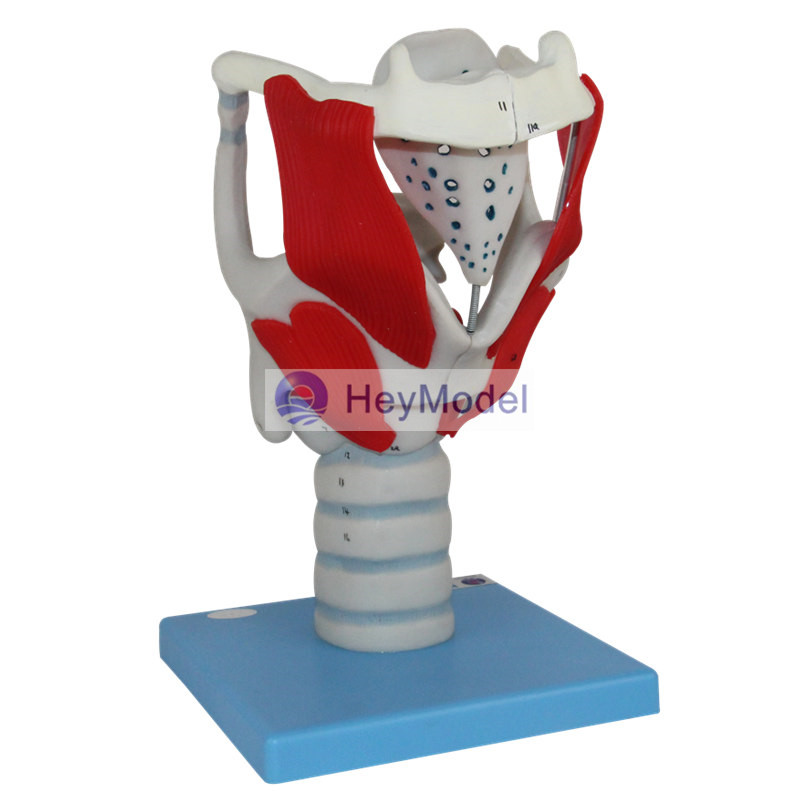 HeyModel Larynx structure and function amplification model human larynx model advanced anatomical larynx model