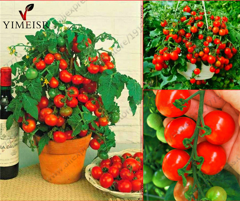 Bonsai Tomato seeds Mini Potted Sweet Cherry Tomatoes Organic Fruit Vegetable seeds Potted Dwarf Tomato plant Seeds 50pcs bag