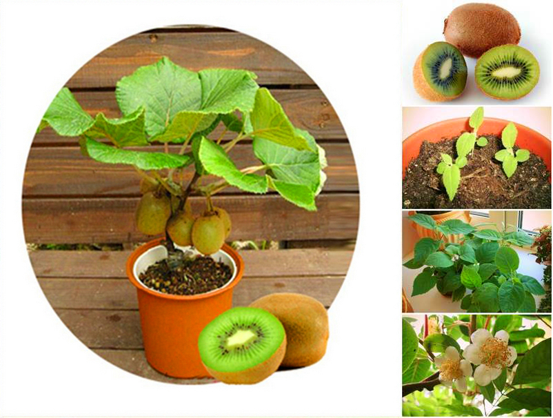 100pcs/bag new rare Mini Kiwi fruit seeds Fruit Seeds flower, Bonsai tree plants,delicious melon Vegetable seeds for Home Garden