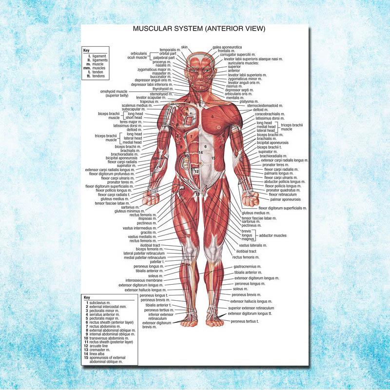 Menschlichen Anatomie Muskeln System Art Silk Poster 13x20 32x48 ...