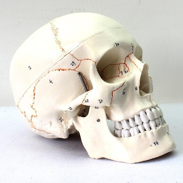 1: 1 medical hohe ende menschlichen schädel modell schädel knochen ...