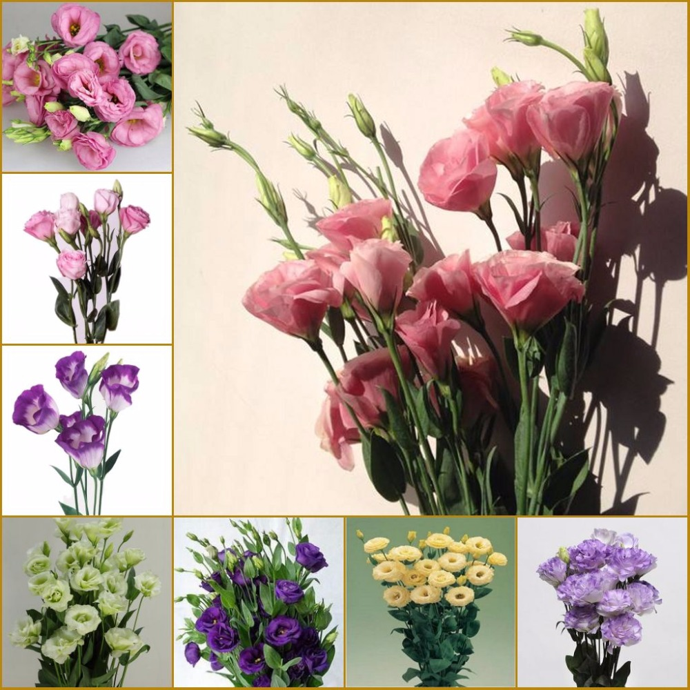 Hot 2017 New Arrival 50 pcs/pack Lisianthus Seeds 25 Colors Collection Bonsai Lisianthus Flower Seeds For Home Garden