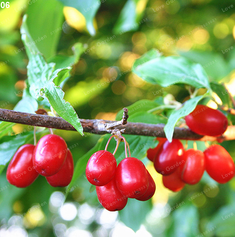 Cornelian Cherry Seeds Rare Fruit Seeds Cornelian Cherry Tree Cornus Dogwood