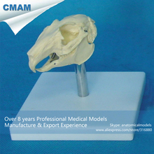 CMAM-A23 Rabbit Skull Anatomical Model w/ Plastic Stand- Medical Veterinary Anatomy, Animal Skeleton Model