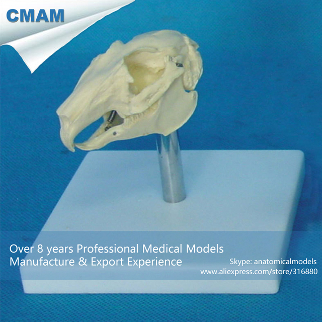 CMAM A23 Rabbit Skull Anatomical Model w/ Plastic Stand Medical ...