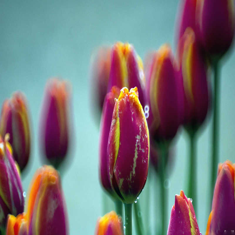 Nuove varietà 1 PCS scuro rosso giallo petalo bordi di Bulgaria tulipano ulb fiori piante di alto livello