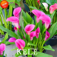 New Arrival!100 Seeds/Pack Rare Calla Lily Seeds,Rhizomes High Survival Rate Calla Lily Flower Seeds, 18 Colors,#T9DGVZ