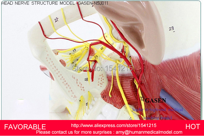 цены  HUMAN SKULL WITH MUSCLE NERVE VESSEL ANATOMICAL MODEL, NECK MODEL,MEDICAL SKULL HEAD NEURAL STRUTURES MODEL GASEN-NSJ011
