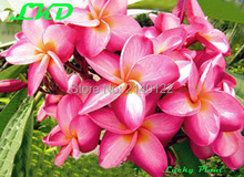 7-15inch Rooted Plumeria Plant Thailand Rare Real Frangipani Plants no39-catheineB
