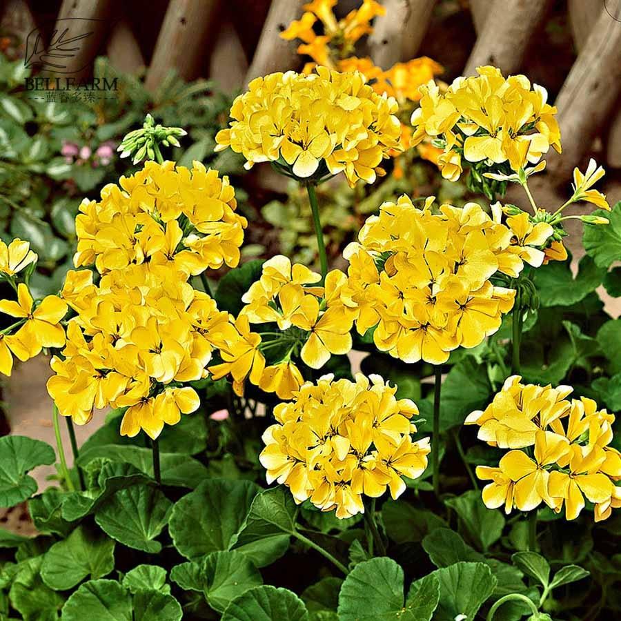 Bellfarm Geranium Yellow Single Petals Perennial Flowers 10pcs