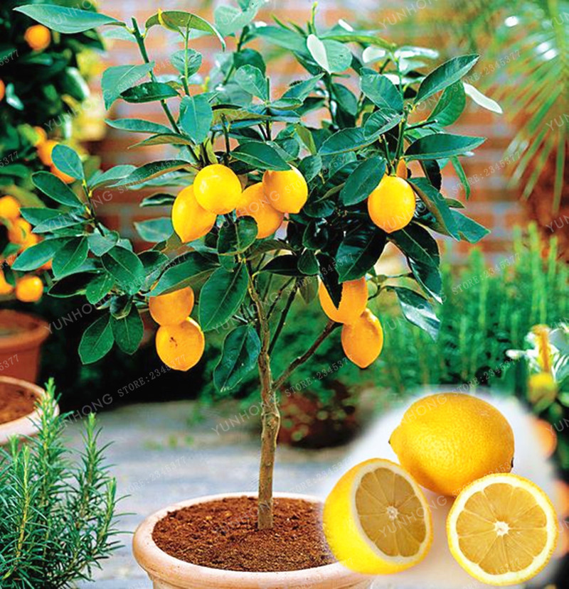10 pcs  bag edible fruit meyer lemon seeds exotic citrus bonsai lemon tree fresh seeds easy to