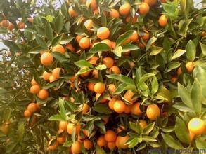 Potted Edible Fruit Climbing Orange Tree Seeds