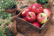 30pcs bonsai apple tree seeds Rare indoor plant dwarf fruit seeds for home garden Free shipping Best packaging Easy to grow