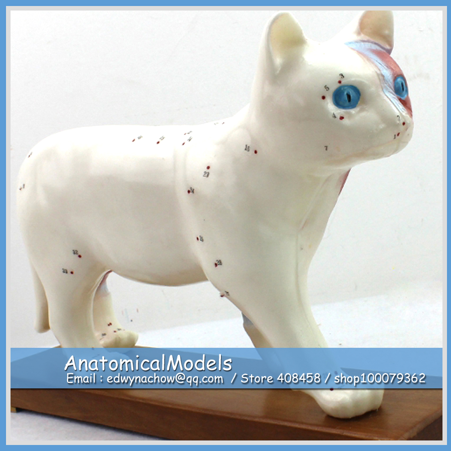 ED-A04 Wholesale Animal Cat Anatomical Model with Acupuncture Point and Organ Anatomy large 24x24 cm simulation white cat with yellow head cat model lifelike big head squatting cat model decoration t187