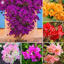 50Pcs Climbing Plant Bougainvillea Colorful Spectabilis Willd Perennial Garden Flower plant