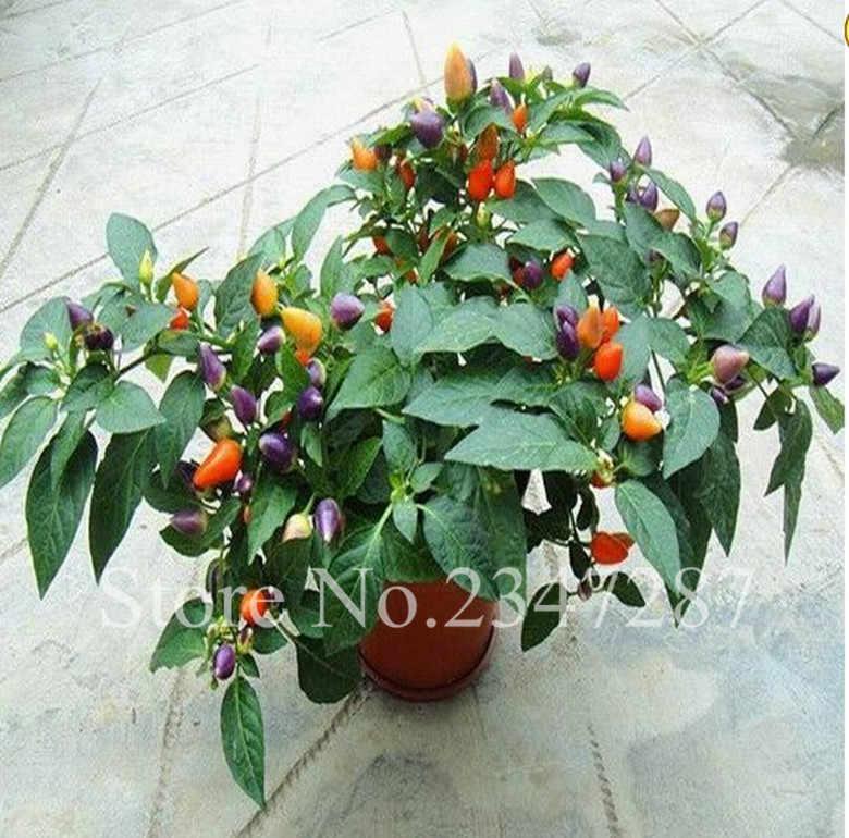 قوس قزح فلفل حار كارولينا ريبر بونساي شيلي البسيطة Bonsais Planta الصالحة للأكل العضوية الزينة شرفة الفائدة زراعة