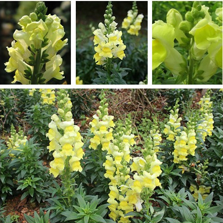 Potted flower seeds common font b Snapdragon b font Antirrhinum majus seed yellow font b snapdragons