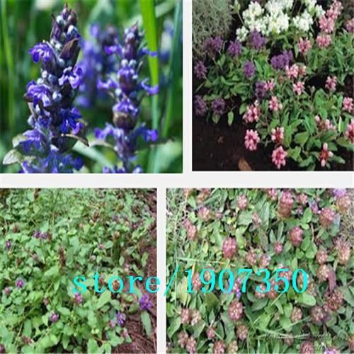 Prunella Herb Perennial Plant Seeds, Original Pack, 1 P